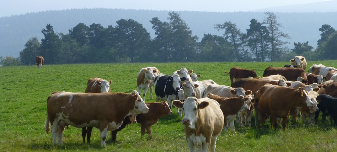 Restrictions Imposed On Ruminants Imported from Bulgaria