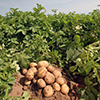 Chinese to erect Novosibirsk Region's largest potato facility