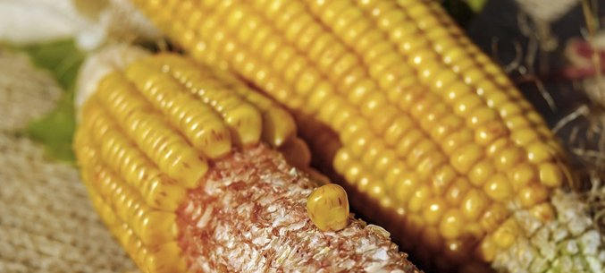 Belarus Expanded Import Of Belgorod Corn