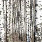 Birch-tree processing facilities to be erected near Novosibirsk by Chinese this autumn