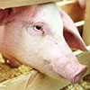 Chinese investor to construct pig-breeding farm in Ryazan