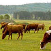 Chinese to build up-to-date cattle-breeding lab in Buryatia