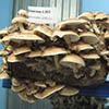 Nizhny Novgorod Region implementing Russia's largest mushroom production project