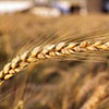Israel ready to cooperate with Novosibirsk to create agribusinesses